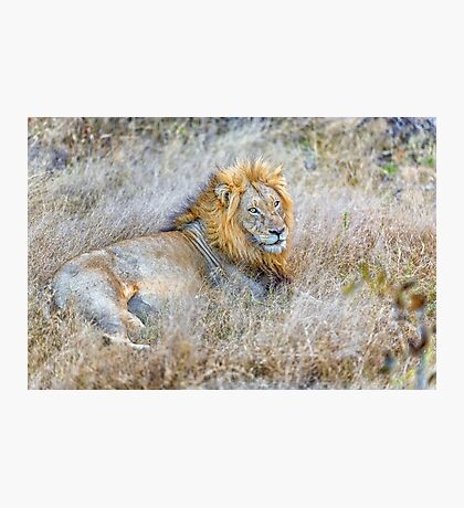 Lion, King of the Jungle Photographic Print