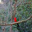 King Parrot on a branch with foliage. by Mary Taylor