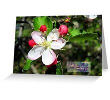 apple blossum treasure Greeting Card