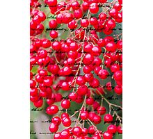red berries in the garden Photographic Print
