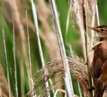 Reed Warbler bird. Sticker