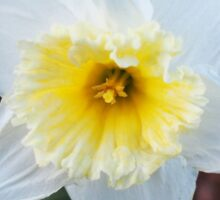 Ruffles on Daffodil Sticker