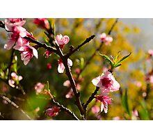 Almond tree spring blossom Photographic Print