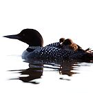 Common loon with chicks by Jim Cumming