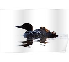 Common loon with chicks Poster