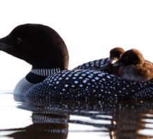 Common loon with chicks Sticker