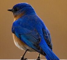 Eastern Bluebird On A Gate Sticker