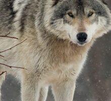 Dominant Wolf Sticker