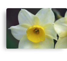 Daffodil , Walled Garden Canvas Print