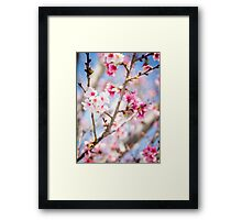 Cherry Blossoms in Bloom Framed Print