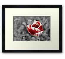 Lonely tulip, red and vanilla, monochrome photo Framed Print