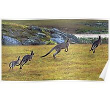 Eastern Grey Kangaroos Poster