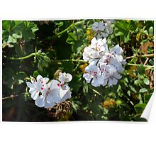 White flowers in the green bush. Poster