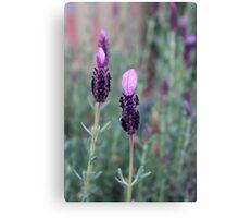 Sweet lavender Canvas Print