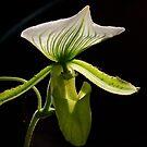 Slipper Orchid by Al Bourassa