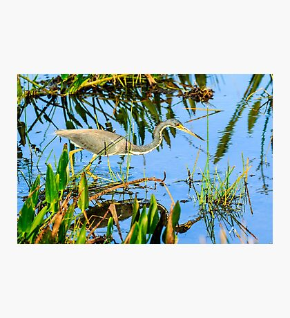 Tricolored Heron On The Hunt Photographic Print