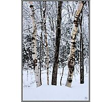 Elders in a High Country Grove Photographic Print