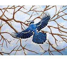 Soaring Blue Jay Photographic Print