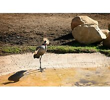 East African Crowned Crane Photographic Print