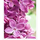 Purple Lilac for Mother's Day Greeting Card by Mariola Szeliga