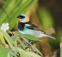 Golden-Hooded Tanager by hummingbirds