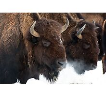Genesee bison in snow Photographic Print