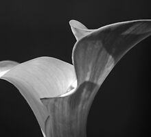 Black And White Calla by Chet  King
