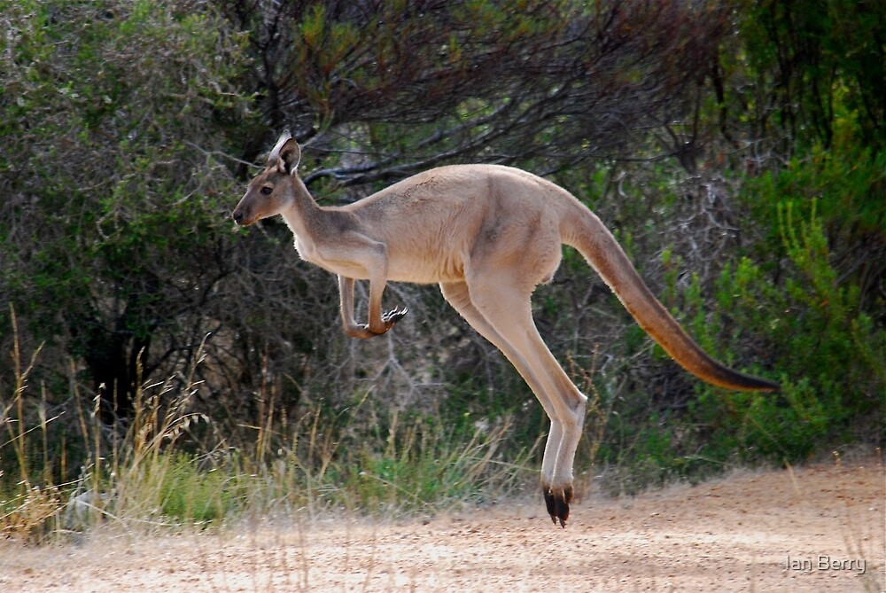Skippy by Ian Berry