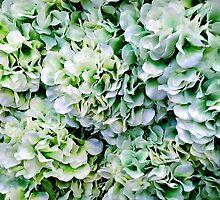 Spearmint Hydrangea by Jane Neill-Hancock