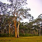 Gum Trees, Eucalyptus Trees by Mary Taylor