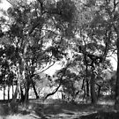 Black and white  Eucalyptus Trees Photograph. by Mary Taylor