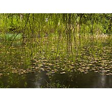 The willow, the lilies, the rain Photographic Print