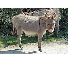 New Forest donkey Photographic Print