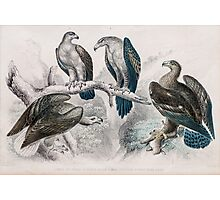eagle birds Hand coloured engraving  Photographic Print
