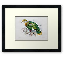 Illustration of Eastern Ornate Fruit-dove  Framed Print