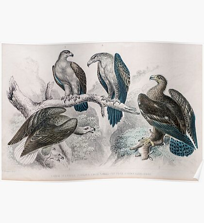 1866 Goldsmith eagle birds print No.2  Poster