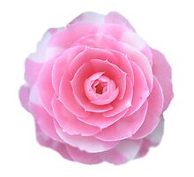 pink camellia flower Photographic Print