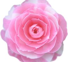 pink camellia flower by ghjura