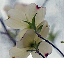 Dogwood Blossoms by Susan S. Kline