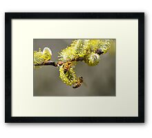 Bees & Cottonwood blooms Framed Print