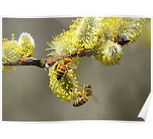 Bees & Cottonwood blooms Poster