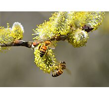 Bees & Cottonwood blooms Photographic Print