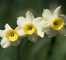 Narcissi  by Chris Monks