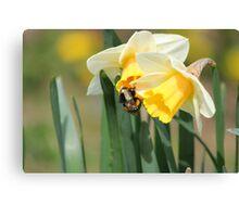 Bumblebee on Daffodils Canvas Print
