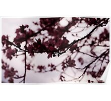 Japanese Cherry Tree Poster