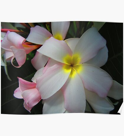flower pink yellow white Poster