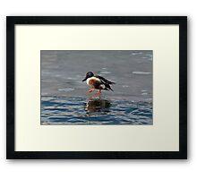 Northern Shoveler Duck Drake Framed Print