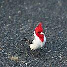 Red Cardinal II by zumi