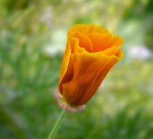 California poppy bud (Eschscholzia californica) by Celeste Mookherjee