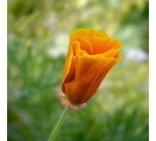 California poppy bud (Eschscholzia californica) Photographic Print